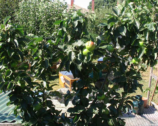 Summer pruning apple and pear trees 2- FOOD TREES AND SHRUBS