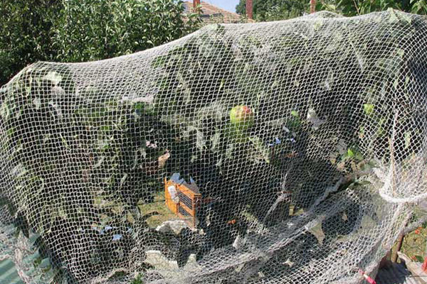Summer pruning apple and pear trees 3- FOOD TREES AND SHRUBS