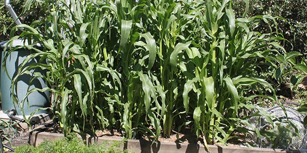 GROWING CORN IN A RAISED BED - Feature image