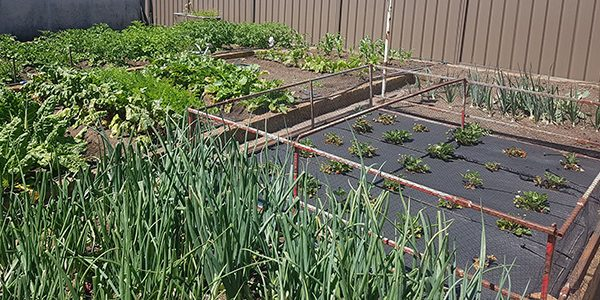 IN PRAISE OF THE TRADITIONAL AUSSIE VEGETABLE GARDENER - FRONT