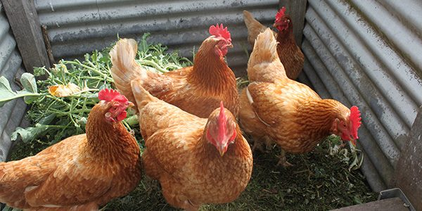Possible Hen Pecking Order Signs - FI