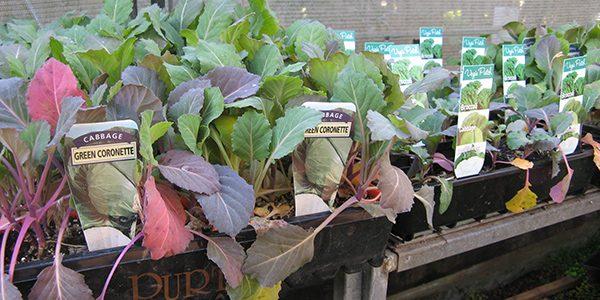 Using Bought Seedlings- FI